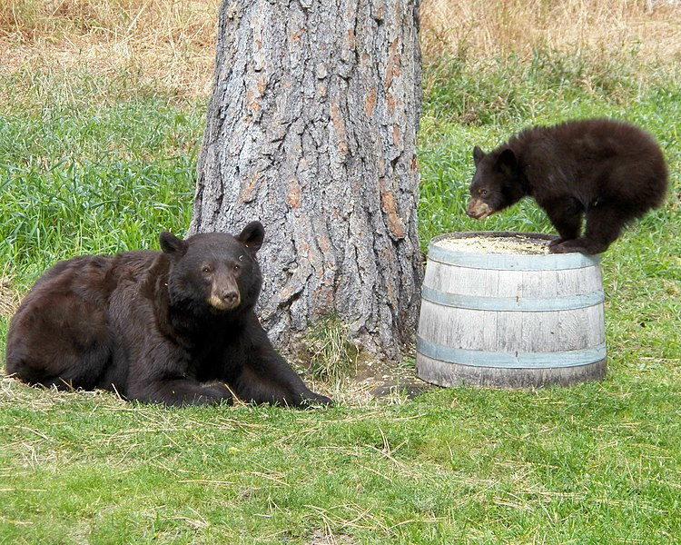 Creative Commons Attribution-Share Alike 4.0 International license https://commons.wikimedia.org/wiki/File:Black-bear_with_her_cub.jpg